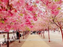Amazing Cherry Blossom Backgrounds
