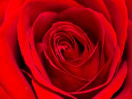 Amazing Red Rose Art Backgrounds