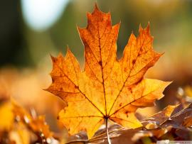 Autumn Maple Leaves Backgrounds