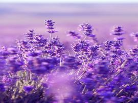 Beautiful Lavender Hd Clip Art Backgrounds