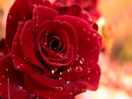 Beautiful Red Roses Graphic Backgrounds