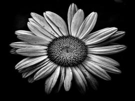 Black and White Daisy Art Backgrounds