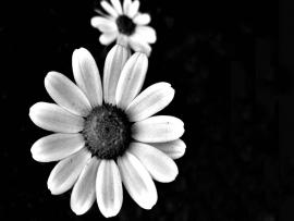 Black and White Flower 6 Backgrounds