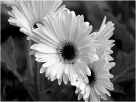 Black and White Flower Template Backgrounds
