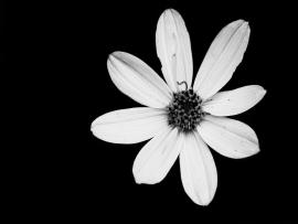 Black and White Flower Templates Backgrounds