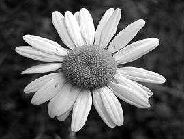 Black and White Flowers Art Backgrounds