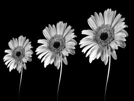Black and White Flowers Black  Clip Art Backgrounds