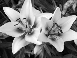 Black and White Flowers Design Backgrounds