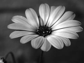 Black and White Flowers Picture Quality Backgrounds