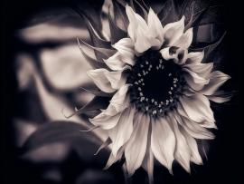 Black and White Flowers Backgrounds