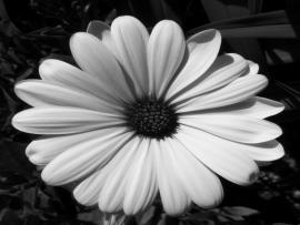 Black and White Photography Flowers Image Picture Backgrounds
