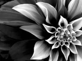 Black and White Real Flowers Many Flowers Presentation Backgrounds