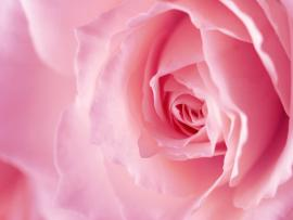 Brilliant Pink Rose Quality Backgrounds