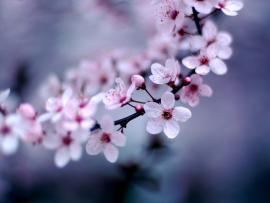 Cherry Blossom Art Backgrounds