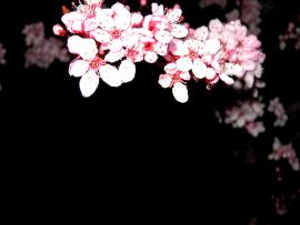 Cherry Blossom Clip Art Backgrounds