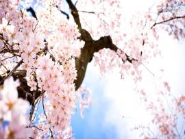 Cherry Blossom Download Backgrounds