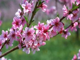 Cherry Blossom image Backgrounds