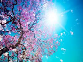 Cherry Blossom Picture Backgrounds