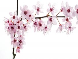 Cherry Blossom Quality Backgrounds