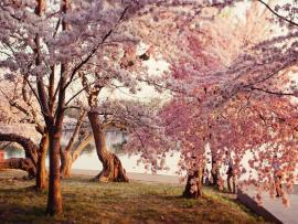 Cherry Blossom Slides Backgrounds