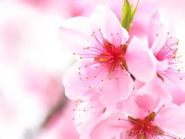 Cherry Blossom Wallpaper Backgrounds