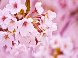 Cherry Blossoms Photo Backgrounds