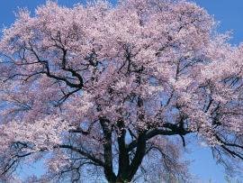 Cherry Tree Quality Backgrounds