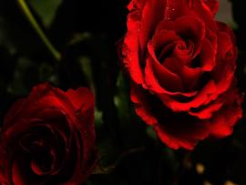 Dark Roses Picture Backgrounds
