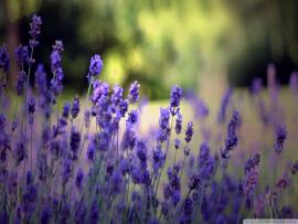 Download Beautiful Lavender Flowers Download Backgrounds
