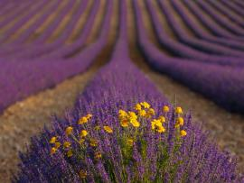 Fantastic Field Lavender Photo Backgrounds