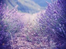 Fantastic Lavender Design Backgrounds