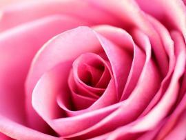 Fantastic Pink Rose Design Backgrounds
