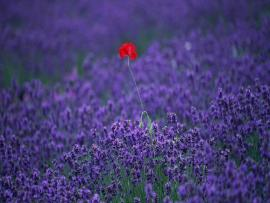 Field Lavender Flower Beautiful Scenery Graphic Backgrounds