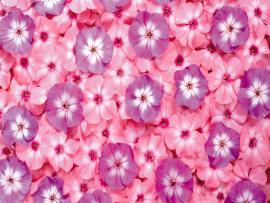 First Series Of Flowers 13647  Flower  Flowers Photo Backgrounds