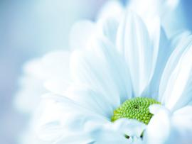 Flowers  White Flower Wide HD   Presentation Backgrounds