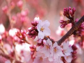 Flowerss Cherry Flowers DesktopWallpapers Cherry Flowers   Presentation Backgrounds