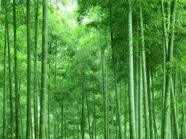 Green Bamboo Forest Picture Backgrounds