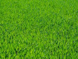 Green Grass Seven  Grass Textures Or Lawn   Template Backgrounds