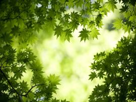 Green Maple Leaves Backgrounds