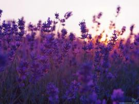 Lavendar Exceptional Wallpaper Backgrounds