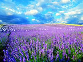 Lavender Field Download Backgrounds