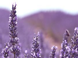 Lavender Flower Purple Backgrounds