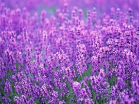 Lavender Flowers Desktop image Backgrounds