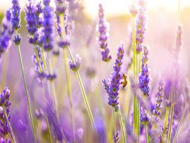 Lavender Flowers Wallpaper Backgrounds