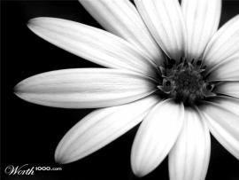 Lonely Flower Black and White Backgrounds