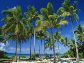 Long Tail  Palm Tree Backgrounds