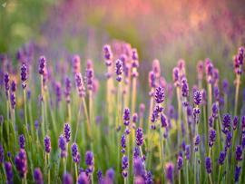 Natural Lavender Hd Frame Backgrounds