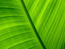 Palm Leaf image Backgrounds