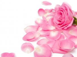 Pink Rose Picture Template Backgrounds