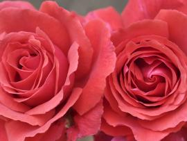 Red and Pink Roses Graphic Backgrounds